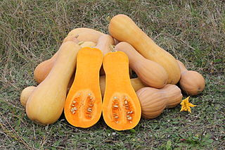 can rabbits eat butternut squash