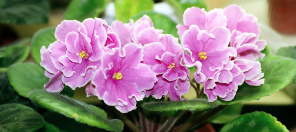 can rabbits eat african violets